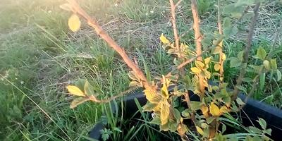 Засыхает войлочная вишня. Как спасти?