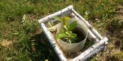Стоит ли оставлять росток вишни?
