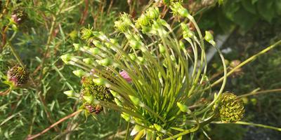 Помогите понять, почему такие странные семена дала космея?