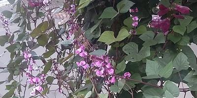 Фасоль Dolixos lablab – украшение для изгороди в саду