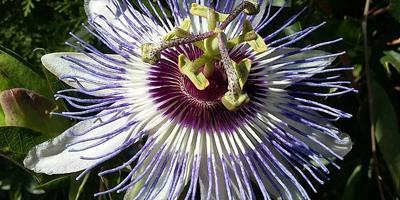 Пассифлора в нашем саду