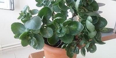 Почему у каланхоэ растут мелкие листья?