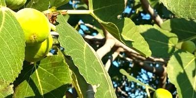 Инжир – райское дерево...