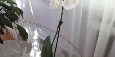 Почему пожелтели листья у орхидеи?