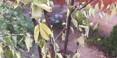 Почему засохли листья у недавно посаженного миндаля?