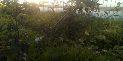 Можно и нужно ли сейчас, в середине августа, как-то обрезать грушу, которая за лето дала много-много зеленых веточек?