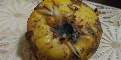 Что предпринять, если на луковицах гладиолусов обнаружилась плесень?