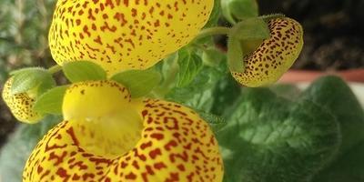 Новый для меня цветок - кальцеолярия