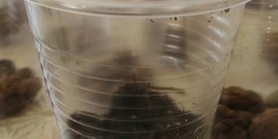 Пересадка лобелии в стаканчики