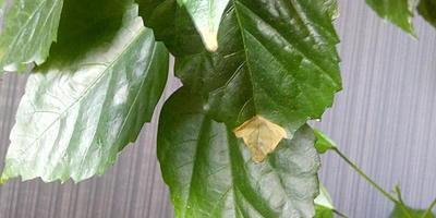 Роза болеет. Листья желтеют и опадают,  почти на всех сухие кончики. Чем я могу ей помочь?