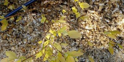 Почему у кустов голубики пожелтели листья?