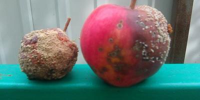 Что это за болезнь яблонь? Как с ней бороться?