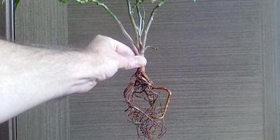 Что за комнатное растение?