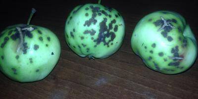 Помогите определить болезнь яблок