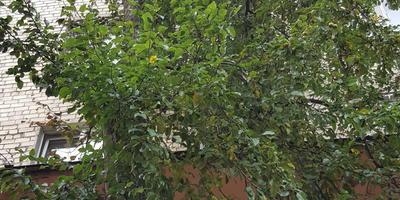 Дикая груша на подвой прямо в Санкт-Петербурге
