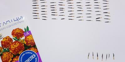 Бархатцы Болеро. Тест на всхожесть