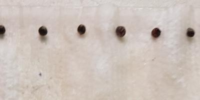 Капуста белокочанная Дитмаршер Фрюер. Тест на всхожесть