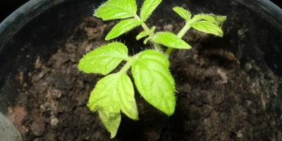Пятна на листьях рассады томатов. Что делать?