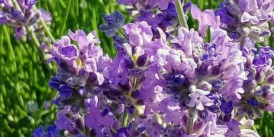 Королева ароматов - лаванда