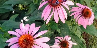 Эхинацея пурпурная - красота и здоровье на дачном участке