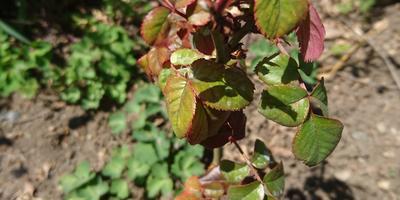 Почему желтеют и осыпаются листья у розы?