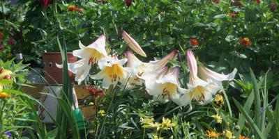 Лилия 'Регале' - деликатес в саду
