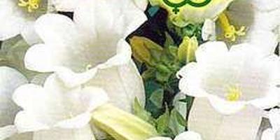 """""""Колокольчики мои - цветики степные..."""", или Снежана в моём саду"""