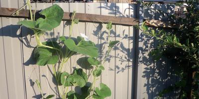 Лагенария змеевидная - экзотика в моём саду!