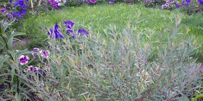Как лучше пересадить растения весной, чтобы учесть их высоту и ярусность на клумбе?