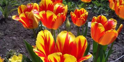 Может ли быть пересорт тюльпанов у крупных поставщиков?