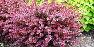 Как можно использовать барбарисы Тунберга Ауреа и Кармен в саду в пейзажном стиле?