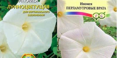 Могут ли эти заросли колокольчиковидных цветов быть сортовой ипомеей?