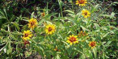Бывают ли среди цинний многолетние растения?