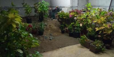 Зимовка крупнолистных цветных гортензий в подвале