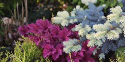 Самые декоративные сорта хвойных в период вегетации