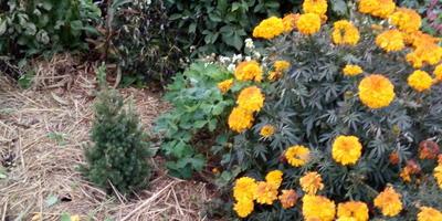 Подскажите, как правильно рассадить цветы на клумбе?