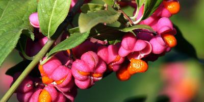 6 видов бересклета, способных преобразить сад