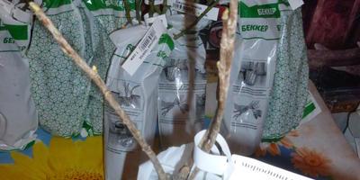 Как сохранить саженец смородины с набухшими почками?