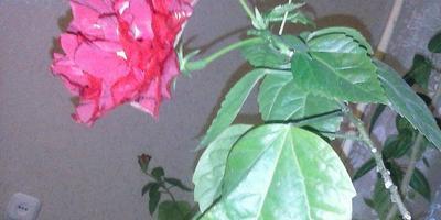 Подскажите, пожалуйста, название разновидности домашней розы