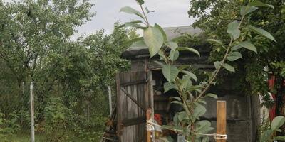 Как правильно укрыть на зиму саженцы вишни и груши во Владимирской области?