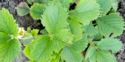 Кто ест листья клубники?