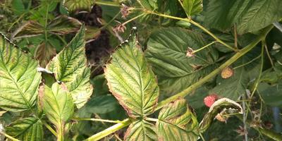 Помогите определить болезнь ремонтантной малины