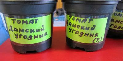 Томат Дамский угодник. Этап III. Развитие растений и уход за ними. Пикировка рассады
