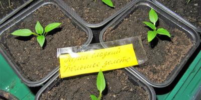 Перец сладкий Большое золото (второй посев). III этап. Развитие растений и уход за ними. Пикировка рассады
