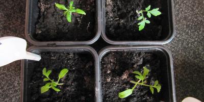 Томат Малиновый великан. III этап. Развитие растений и уход за ними