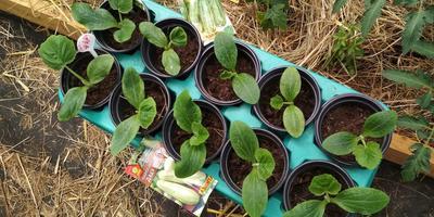 Кабачок белоплодный Дядя Федор. III этап. Развитие растений и уход