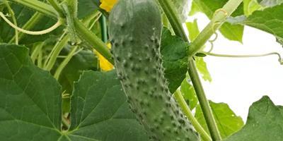 Мой маленький секрет сбора урожая огурцов