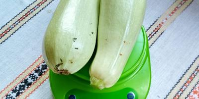 Кабачок белоплодный Дядя Федор. VI этап. Плодоношение. Второй и третий сбор плодов