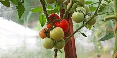 Лирика F1. Обзор кустов и снятие первых плодов