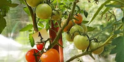 Лирика F1. Сегодня снимаю красные и бурые плоды